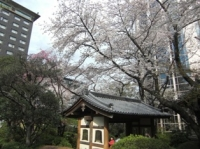 日本庭園の桜その1