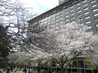 日本庭園の桜その2