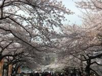 武道館の桜その1