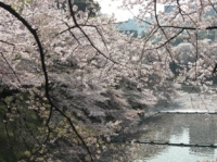 武道館の桜その2