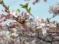 武道館の桜その3