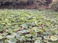 鶴岡八幡宮の蓮池