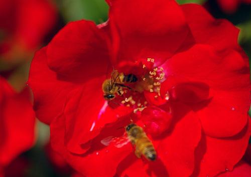 080601ミツバチ-3