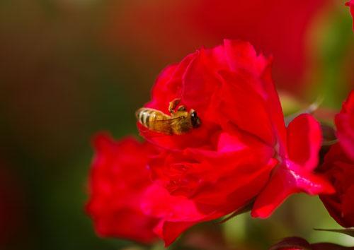 080601ミツバチ-2