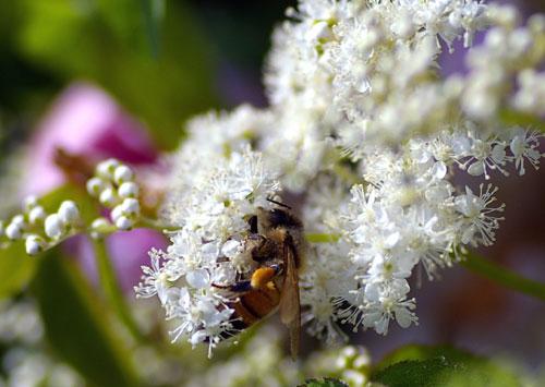 080601ミツバチ-4