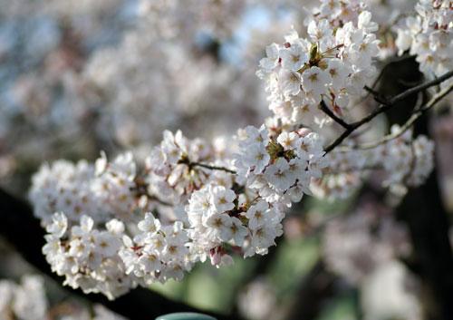 090405桜1