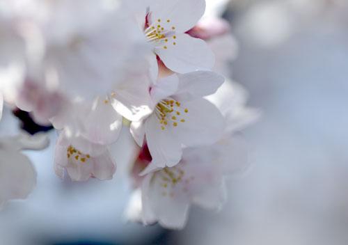 090405桜2