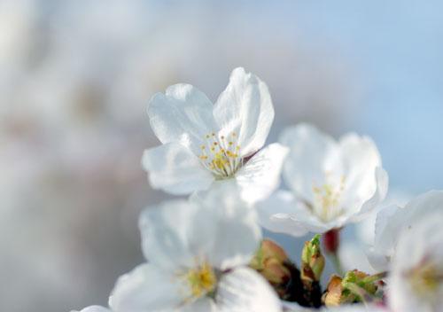 090405桜3