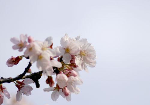 090405桜4