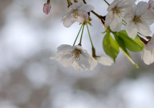 090405桜5