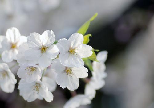 090405桜6