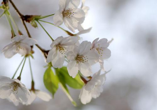 090405桜7