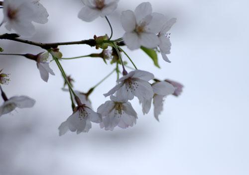 090405桜8