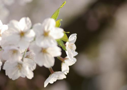 090405桜9