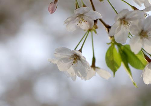 090405桜10