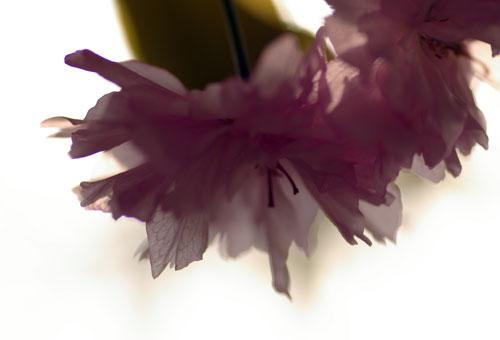 090419八重桜1