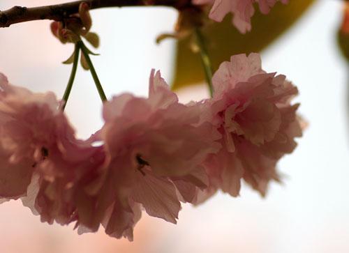 090419八重桜2