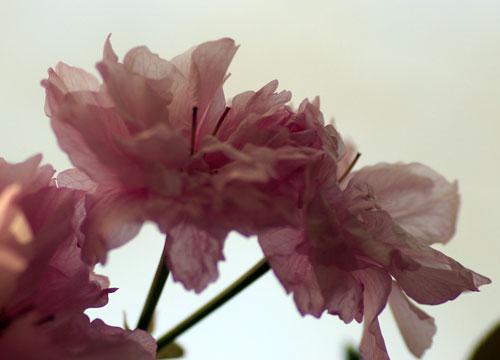 090419八重桜3