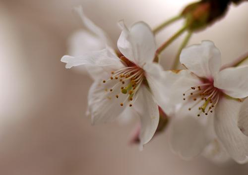 10403桜1
