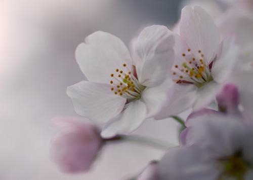 10403桜2