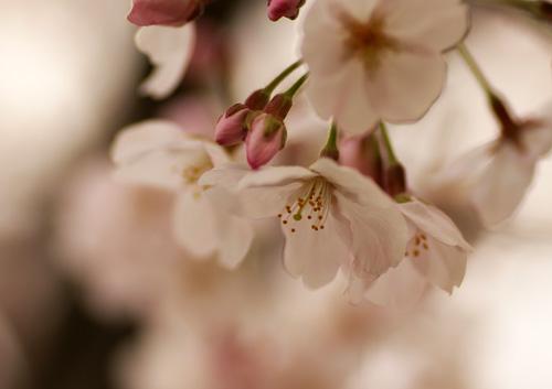 10403桜3