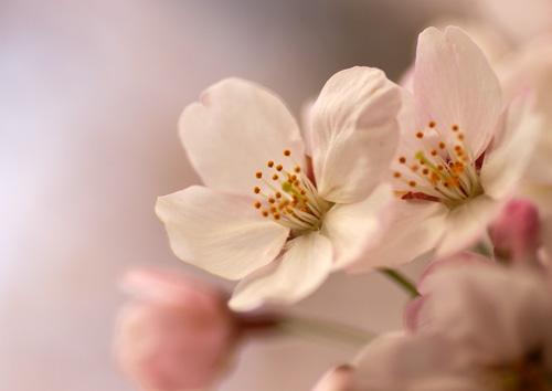 10403桜4