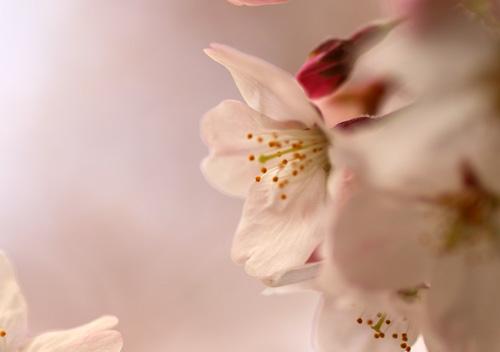 10403桜6