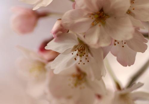 10403桜7