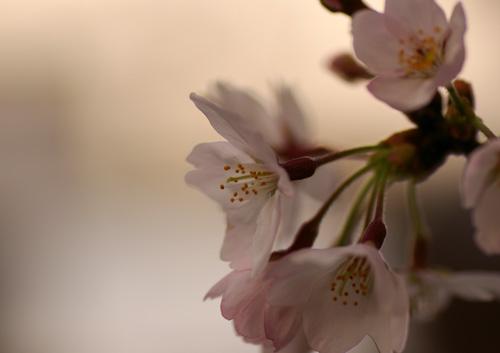 10403桜8