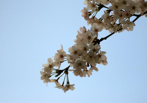 10403桜9