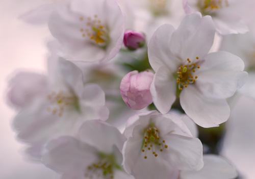 10403桜11