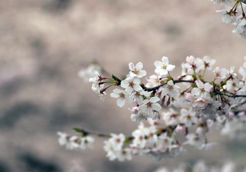 10403桜13