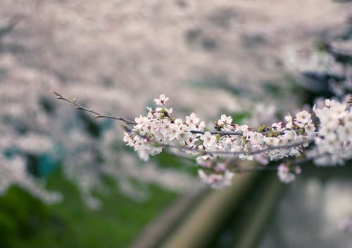 10403桜14