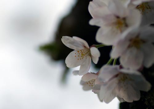 10403桜15