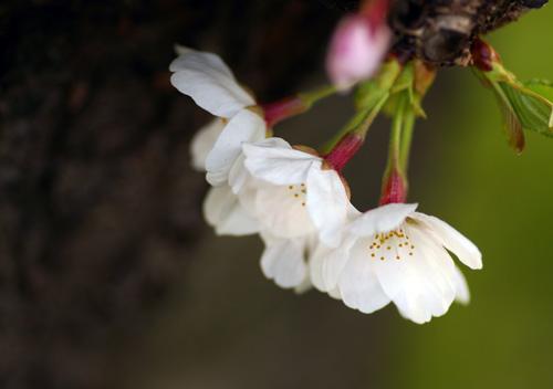 10403桜16