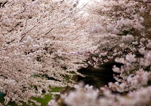 10403桜18