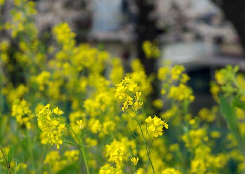 104111菜の花2
