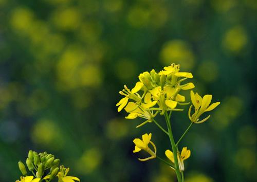 10411菜の花1