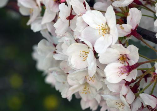 10411桜1