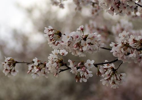 10411桜3