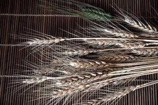 小麦の穂.JPG