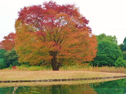 昭和記念公園紅葉3