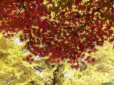 昭和記念公園紅葉5