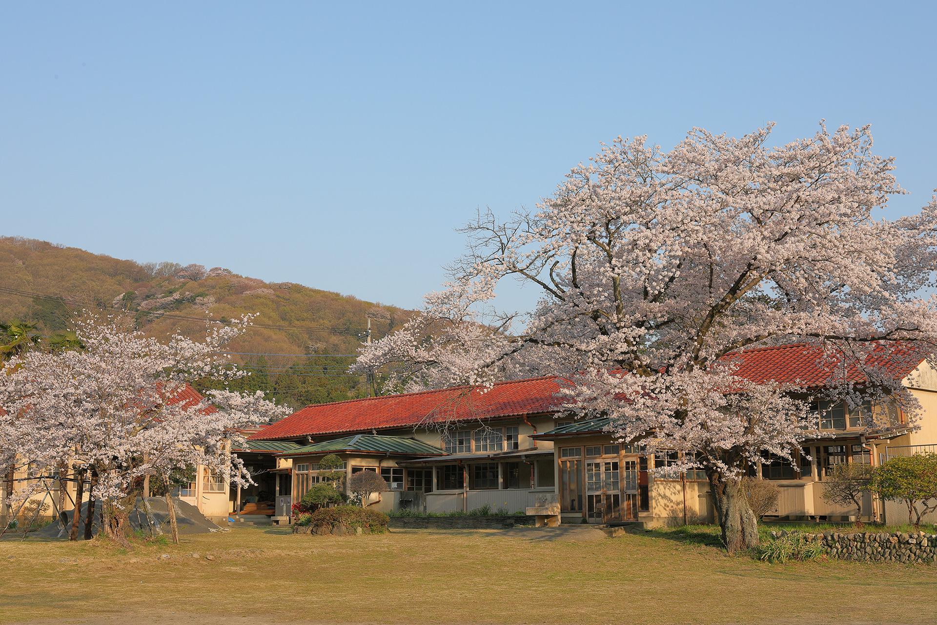 のんのんびより 下里分校の桜