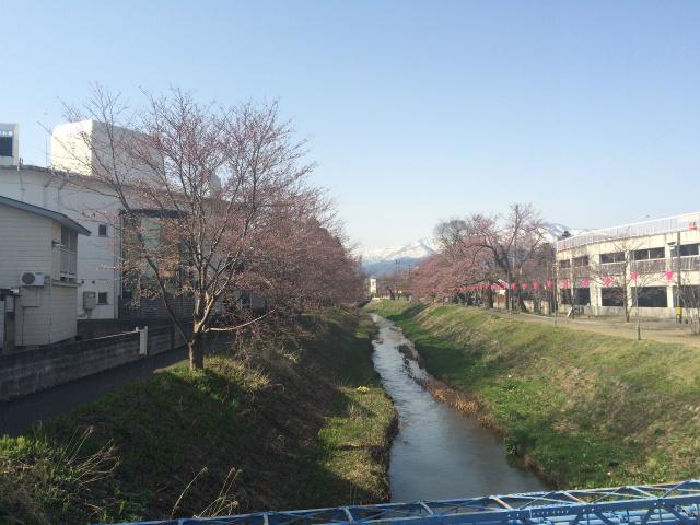 新幸橋からの桜・4月2日