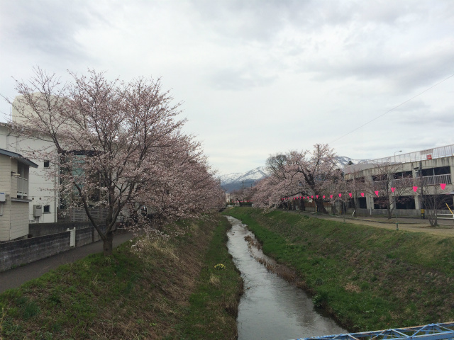 新幸橋からの桜・4月3日