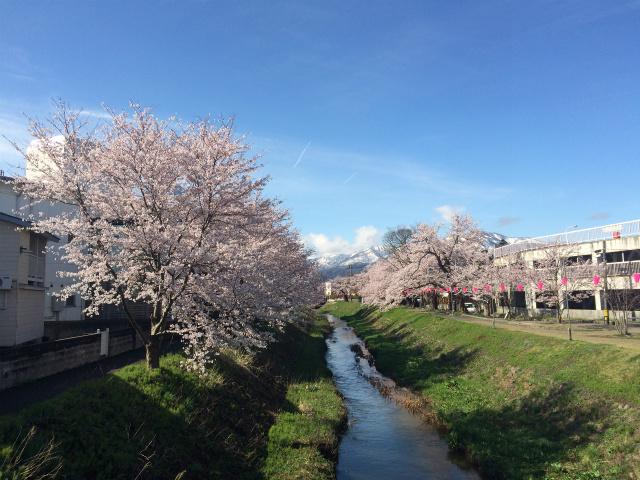新幸橋からの桜・4月5日