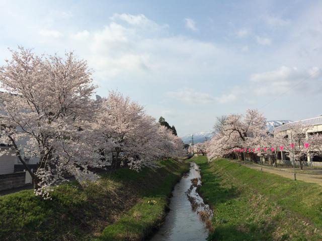 新幸橋からの桜・4月6日