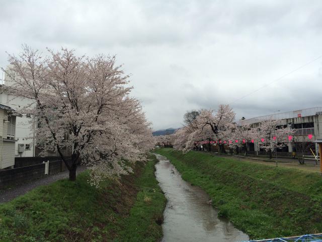 新幸橋からの桜・4月8日