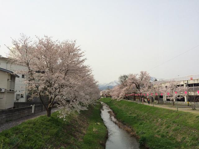 新幸橋からの桜・4月10日